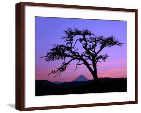 Windswept Pine Tree Framing Mount Hood at Sunset, Columbia River Gorge National Scenic Area, Oregon-Steve Terrill-Framed Art Print