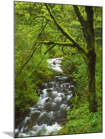 Bridal Veil Creek Flowing Through Forest in Springtime, Mt. Hood National Forest-Steve Terrill-Mounted Photographic Print