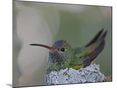 Detail of Buff-Bellied Hummingbird Sitting on Nest Atop Cactus Plant, Raymondville, Texas, USA-Arthur Morris-Mounted Photographic Print