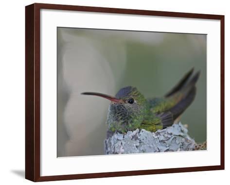 Detail of Buff-Bellied Hummingbird Sitting on Nest Atop Cactus Plant, Raymondville, Texas, USA-Arthur Morris-Framed Art Print