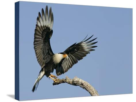 Crested Caracara Landing on Tree Branch, Cozad Ranch, Linn, Texas, USA-Arthur Morris-Stretched Canvas Print