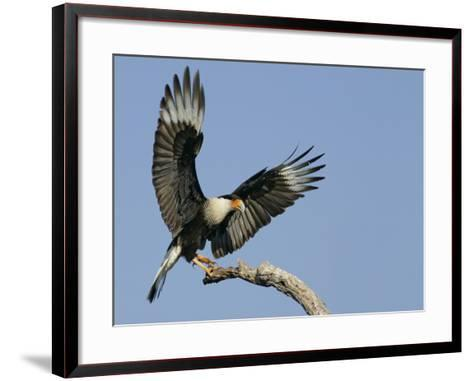 Crested Caracara Landing on Tree Branch, Cozad Ranch, Linn, Texas, USA-Arthur Morris-Framed Art Print