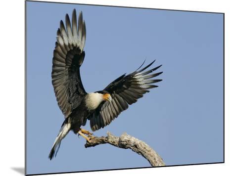 Crested Caracara Landing on Tree Branch, Cozad Ranch, Linn, Texas, USA-Arthur Morris-Mounted Photographic Print