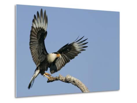 Crested Caracara Landing on Tree Branch, Cozad Ranch, Linn, Texas, USA-Arthur Morris-Metal Print