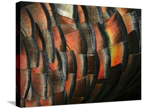 Wild Turkey Feather Close-up, Las Colmenas Ranch, Hidalgo County, Texas, USA-Arthur Morris-Stretched Canvas Print