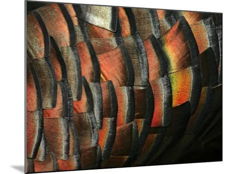 Wild Turkey Feather Close-up, Las Colmenas Ranch, Hidalgo County, Texas, USA-Arthur Morris-Mounted Photographic Print