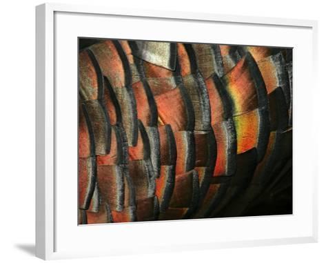 Wild Turkey Feather Close-up, Las Colmenas Ranch, Hidalgo County, Texas, USA-Arthur Morris-Framed Art Print