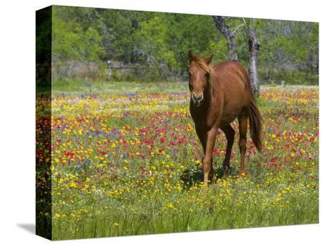 Quarter Horse in Wildflower Field Near Cuero, Texas, USA-Darrell Gulin-Stretched Canvas Print