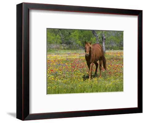 Quarter Horse in Wildflower Field Near Cuero, Texas, USA-Darrell Gulin-Framed Art Print