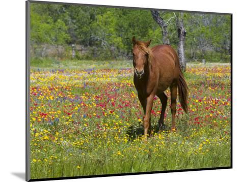 Quarter Horse in Wildflower Field Near Cuero, Texas, USA-Darrell Gulin-Mounted Photographic Print