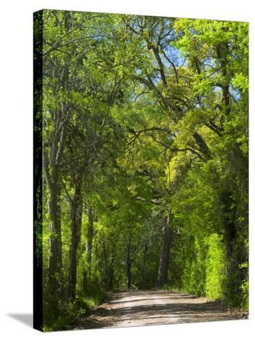 Dirt Roadway Overhanging with Greens of Oak Trees Near Independence, Texas, USA-Darrell Gulin-Stretched Canvas Print