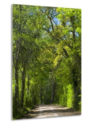 Dirt Roadway Overhanging with Greens of Oak Trees Near Independence, Texas, USA-Darrell Gulin-Metal Print