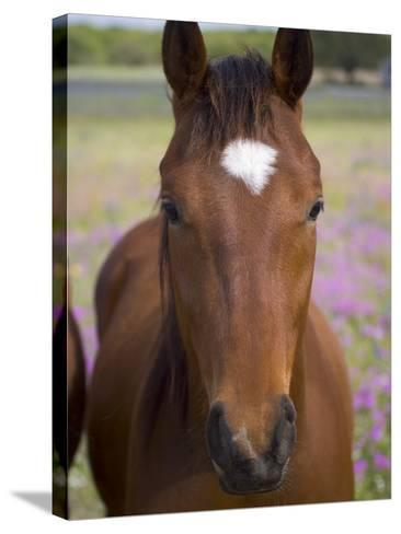 Quarter Horse in Wildflowers, Devine, Texas, USA-Darrell Gulin-Stretched Canvas Print