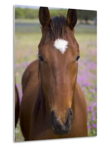 Quarter Horse in Wildflowers, Devine, Texas, USA-Darrell Gulin-Metal Print
