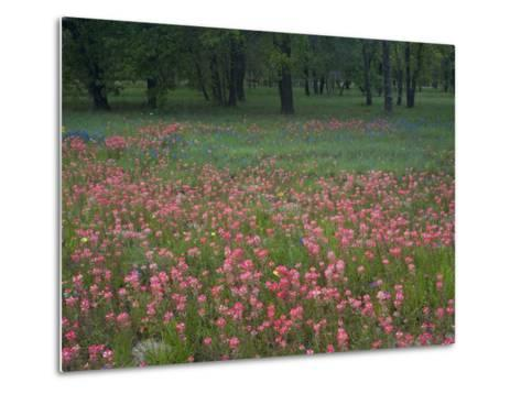 Field of Texas Blue Bonnets, Phlox and Oak Trees, Devine, Texas, USA-Darrell Gulin-Metal Print