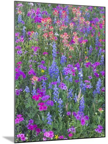 Phlox, Blue Bonnets and Indian Paintbrush Near Brenham, Texas, USA-Darrell Gulin-Mounted Photographic Print