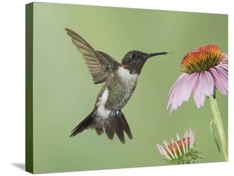 Ruby-Throated Hummingbird in Flight Feeding on Purple Coneflower, New Braunfels, Texas, USA-Rolf Nussbaumer-Stretched Canvas Print