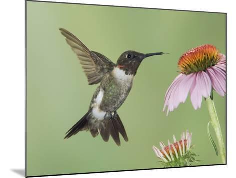 Ruby-Throated Hummingbird in Flight Feeding on Purple Coneflower, New Braunfels, Texas, USA-Rolf Nussbaumer-Mounted Photographic Print