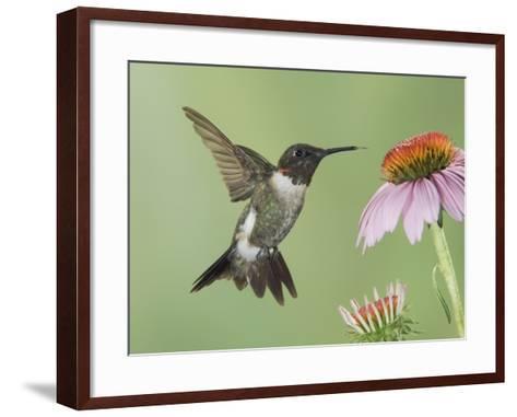Ruby-Throated Hummingbird in Flight Feeding on Purple Coneflower, New Braunfels, Texas, USA-Rolf Nussbaumer-Framed Art Print