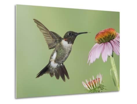 Ruby-Throated Hummingbird in Flight Feeding on Purple Coneflower, New Braunfels, Texas, USA-Rolf Nussbaumer-Metal Print