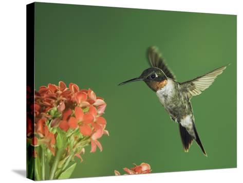 Ruby-Throated Hummingbird in Flight Feeding on Kalanchoe Flower, New Braunfels, Texas, USA-Rolf Nussbaumer-Stretched Canvas Print