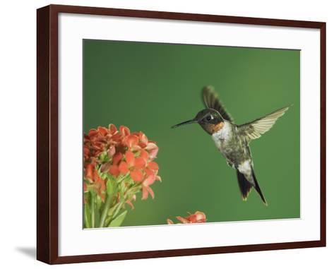 Ruby-Throated Hummingbird in Flight Feeding on Kalanchoe Flower, New Braunfels, Texas, USA-Rolf Nussbaumer-Framed Art Print