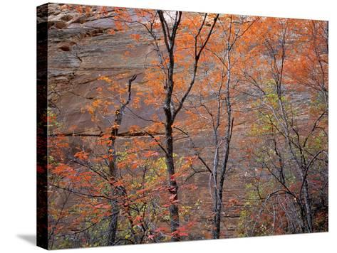 Fall Color in Zion National Park, Utah, USA-Diane Johnson-Stretched Canvas Print