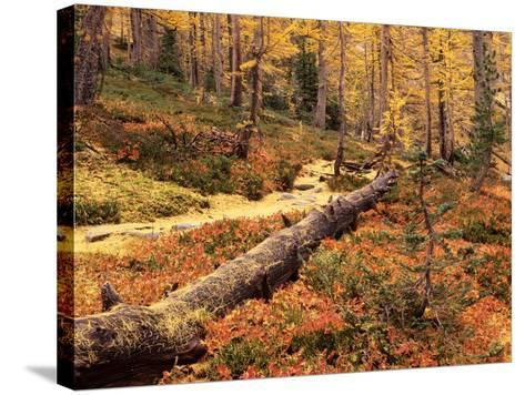 Huckleberry Leaves and Larch Trees, Enchantment Lakes, Alpine Lakes Wilderness, Washington, USA-Jamie & Judy Wild-Stretched Canvas Print