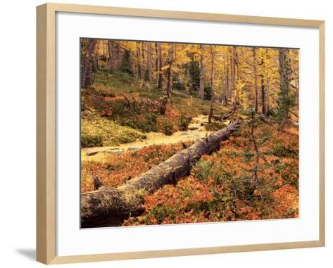 Huckleberry Leaves and Larch Trees, Enchantment Lakes, Alpine Lakes Wilderness, Washington, USA-Jamie & Judy Wild-Framed Art Print