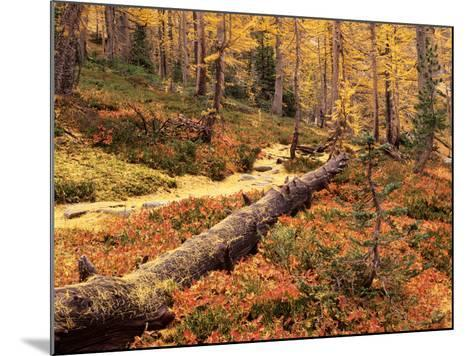 Huckleberry Leaves and Larch Trees, Enchantment Lakes, Alpine Lakes Wilderness, Washington, USA-Jamie & Judy Wild-Mounted Photographic Print