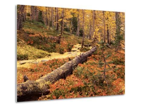 Huckleberry Leaves and Larch Trees, Enchantment Lakes, Alpine Lakes Wilderness, Washington, USA-Jamie & Judy Wild-Metal Print