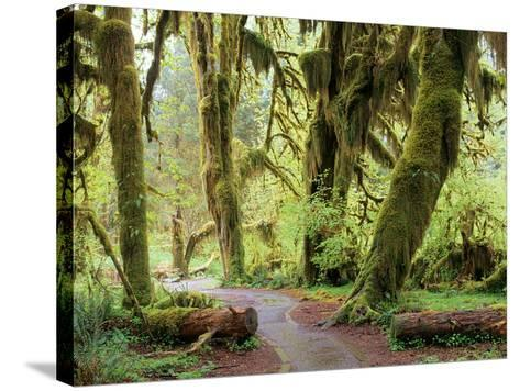 Hall of Mosses and Trail, Big Leaf Maple Trees and Oregon Selaginella Moss, Hoh Rain Forest-Jamie & Judy Wild-Stretched Canvas Print