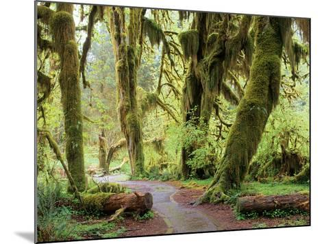 Hall of Mosses and Trail, Big Leaf Maple Trees and Oregon Selaginella Moss, Hoh Rain Forest-Jamie & Judy Wild-Mounted Photographic Print