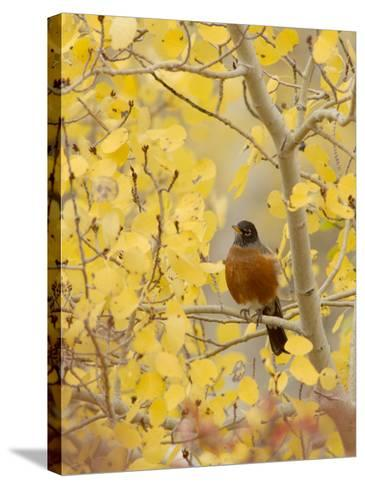 Male American Robin in Aspen Tree, Grand Teton National Park, Wyoming, USA-Rolf Nussbaumer-Stretched Canvas Print