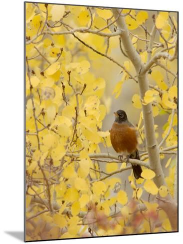 Male American Robin in Aspen Tree, Grand Teton National Park, Wyoming, USA-Rolf Nussbaumer-Mounted Photographic Print
