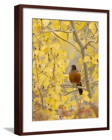 Male American Robin in Aspen Tree, Grand Teton National Park, Wyoming, USA-Rolf Nussbaumer-Framed Art Print