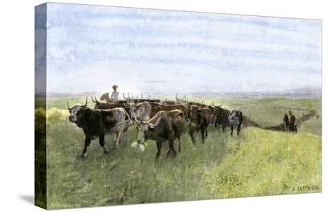 Cowboys Driving a Longhorn Herd on the Great Cattle Trail 1800--Stretched Canvas Print