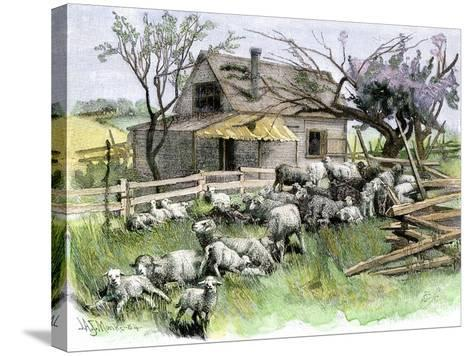 Sheep Near a Cottage in West Rutland, Vermont, c.1880--Stretched Canvas Print