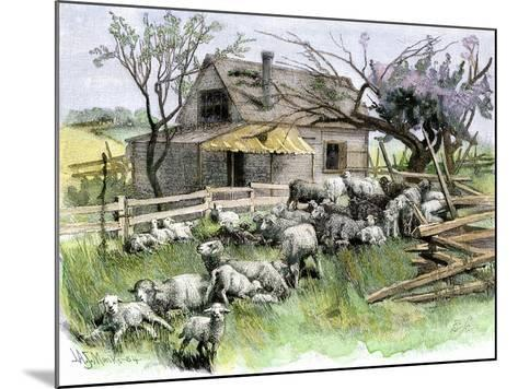 Sheep Near a Cottage in West Rutland, Vermont, c.1880--Mounted Giclee Print