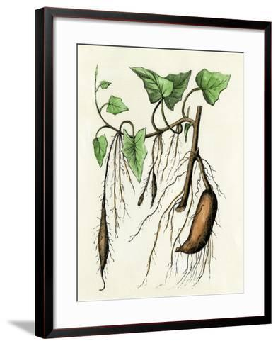 Sweet Potato Plant, a Tropical Vine with an Edible Tuberous Root--Framed Art Print