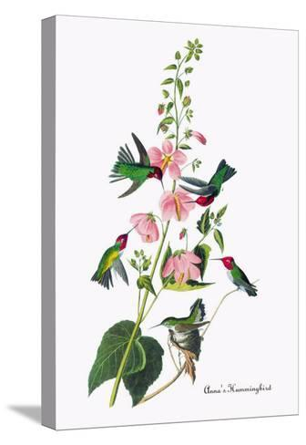 Anna's Hummingbird-John James Audubon-Stretched Canvas Print