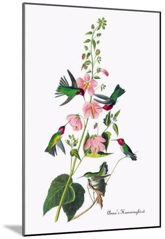 Anna's Hummingbird-John James Audubon-Mounted Art Print