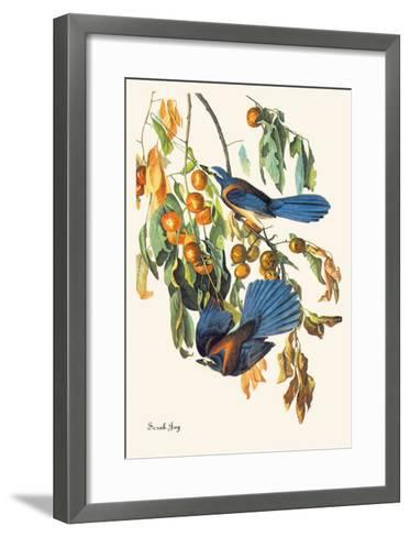 Scrub Jay-John James Audubon-Framed Art Print