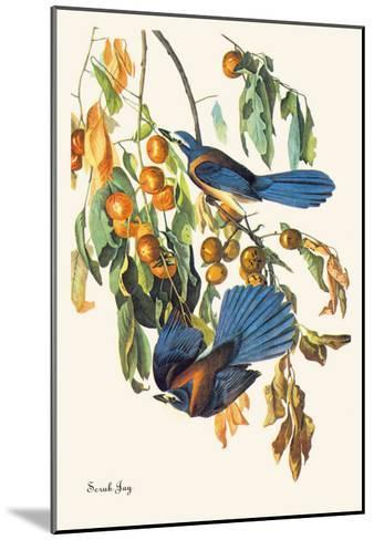 Scrub Jay-John James Audubon-Mounted Art Print