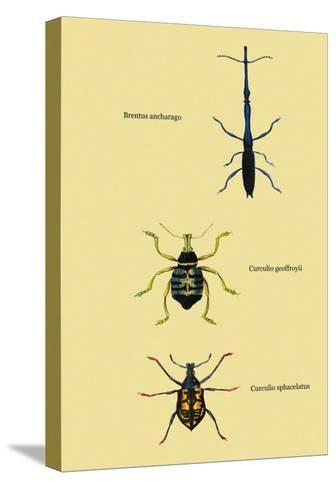 Beetles: Brentus Anchorago, Curculio Geoffroy-Sir William Jardine-Stretched Canvas Print