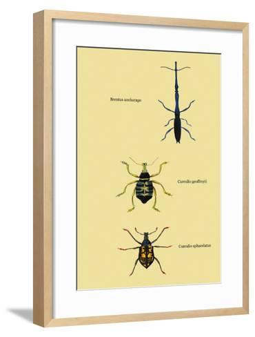 Beetles: Brentus Anchorago, Curculio Geoffroy-Sir William Jardine-Framed Art Print