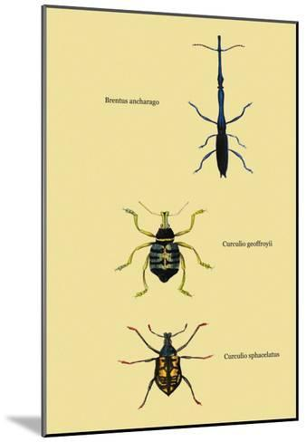 Beetles: Brentus Anchorago, Curculio Geoffroy-Sir William Jardine-Mounted Art Print