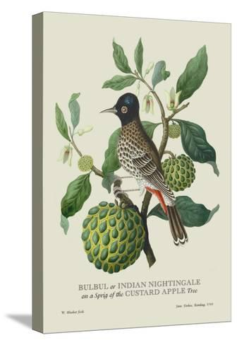 Indian Nightingale-J^ Forbes-Stretched Canvas Print