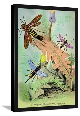 Insects: Sirex Gigas, Tremex Columba and Joppa Picta-James Duncan-Stretched Canvas Print