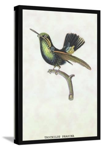 Hummingbird: Trochilus Prasina-Sir William Jardine-Stretched Canvas Print